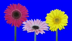 Time-lapse of growing and opening pink and yellow gerbera flowers 1a5 in 4K Animation format with ALPHA transparency channel isolated on blue chroma keyed background