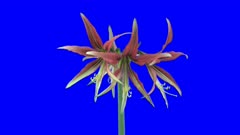 Time-lapse of opening amaryllis Hippeastrum Cybister Tango 1a5 in 4K Animation format with ALPHA transparency channel isolated on blue chroma keyed background