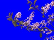 Time-lapse of blooming bird cherry branch 2a1 in 3K Animation format with ALPHA transparency channel isolated on blue chroma keyed background