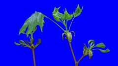 Time-lapse of growing maple tree branch 3a6 in 3K Animation format with ALPHA transparency channel isolated on blue chroma keyed background