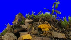 Time-lapse of growing chanterelle mushroom in a forest 2x2 in film-2K Animation format with ALPHA transparency channel isolated on blue chroma keyed background background