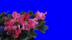 Time-lapse of opening red rhododendron 2x5 in 4K Animation format with ALPHA transparency channel isolated on blue chroma keyed background