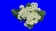 Time-lapse of opening white kalanchoe flower 1x6 in 4K Animation format with ALPHA transparency channel isolated on blue chroma keyed background