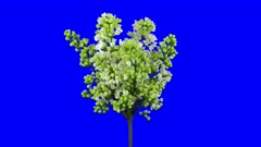 Time-lapse of growing, opening and rotating white Lilac (Syringa) bush branch 1x5 in 4K Animation format with ALPHA transparency channel isolated on blue chroma keyed background