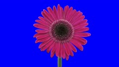 Time-lapse of growing and opening pink gerbera flower 4a5 in 4K Animation format with ALPHA transparency channel isolated on blue chroma keyed background