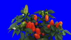 Time-lapse of growing and ripening orange Bell pepper 1x5 in Animation format with ALPHA transparency channel isolated on blue chroma keyed background