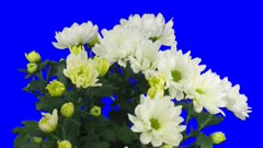 Time-lapse of opening white chrysanthemum flower buds 3x4 in 3K Animation format with ALPHA transparency channel isolated on blue chroma keyed background