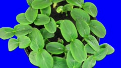 Time-lapse of growing cucumbers 5b2 in 3K Animation format with ALPHA transparency channel isolated on blue chroma keyed background, top view