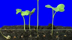 Time lapse of growing radish vegetables 3c2 in Animation format with ALPHA transparency channel isolated on blue chroma keyed background