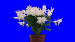 Time-lapse of growing and blooming white Christmas cactus (Schlumbergera) 8x3 in 3K Animation format with ALPHA transparency channel isolated on blue chroma key background.