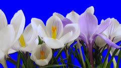 Time-lapse of growing and opening multicolor crocus 6a2 in Animation format with ALPHA transparency channel isolated on blue chroma keyed background