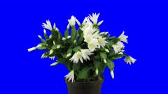 Time-lapse of rotating, growing and blooming white Easter (Rhipsalidopsis, Hatiora or Spring) cactus 1x5 in 4K Animation format with ALPHA transparency channel isolated on blue chroma keyed background