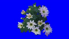 Time-lapse of opening orange chrysanthemum flower buds 1x5 in 4K Animation format with ALPHA transparency channel isolated on blue chroma keyed background
