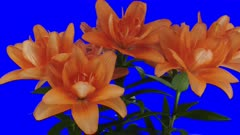 Time-lapse of opening orange lily 6x4 in 3K Animation format with ALPHA transparency channel isolated on blue chroma keyed background