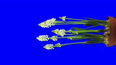 Time-lapse of growing, opening and rotating white Grape hyacinths (Muscari armeniacum) 1v4 in 4K Animation format with ALPHA transparency channel isolated on blue chroma keyed background, vertical composition