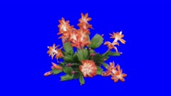 Time-lapse of growing and blooming pink Christmas cactus (Schlumbergera) 6x5  in 4K Animation format with ALPHA transparency channel isolated on blue chroma key background