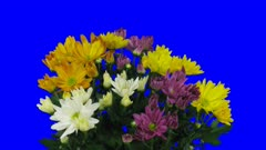 Time-lapse of opening multicolor chrysanthemum flower buds 1a5 in 4K Animation format with ALPHA transparency channel isolated on blue chroma keyed background