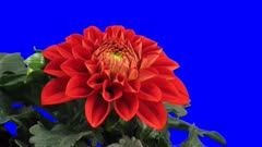 Time-lapse of blooming red dahlia flower 5a5 in 3K Animation format with ALPHA transparency channel isolated on blue chroma keyed background
