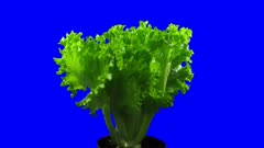Time-lapse of growing lettuce vegetable 2x4b in 4K Animation format with ALPHA transparency channel isolated on blue chroma keyed background
