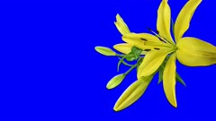 Time-lapse of opening yellow lily 4x1b in 4K Animation format with ALPHA transparency channel isolated on blue chroma keyed background