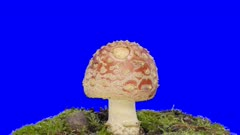 Time-lapse of growing fly agaric (Amanita Muscaria) mushroom in a forest 11a4b in 4K Animation format with ALPHA transparency channel isolated on blue chroma keyed background