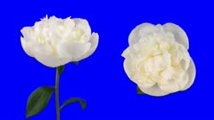 Time-lapse of opening white peony (Paeonia) flower shot with 2 synchronized cameras 6d1b in Animation format with ALPHA transparncy channel isolated on blue chroma keyed background