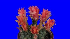 Time-lapse of blooming red cactus buds 7a4b in 4K Animation format with ALPHA transparency channel isolated on blue chroma keyed background