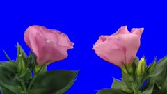 Time-lapse of opening and blooming pink Eustoma Grandiflorum (Japanese Rose) flowers 8x1b in Animation format with ALPHA transparency channel isolated on blue chroma keyed background, two cameras shooting