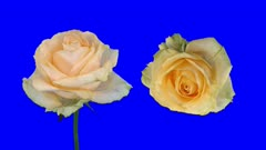 Time-lapse of dying Peach Avalanche rose 3x4b in 4K Animation format with ALPHA transparency channel isolated on blue chroma keyed background, top and front view, synchronized two cameras shot