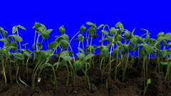 Time-lapse of germinating sunflower seeds in a soil 5a4b in 3K Animation format with ALPHA transparency channel isolated on blue chroma keyed background