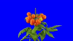 Time-lapse of growing and ripening tomato vegetables 8a4b in 4K Animation format with ALPHA transparency channel isolated on blue chroma keyed background