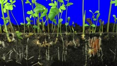 Time lapse of growing germinating mixed vegetables (radish, barley, alfalfa, cucumber, bean, mung) above and below the earth surface b6x in 3K Animation format with ALPHA transparency channel isolated  on blue chroma keyed background