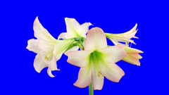 Time-lapse of opening white Trentino amaryllis Christmas flower 1x5b in 3K Animation format with ALPHA transparency channel isolated on blue chroma keyed background
