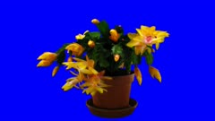 Time-lapse of growing and blooming orange Christmas cactus (Schlumbergera) 4a4b in 4K Animation format with ALPHA transparency channel isolated on blue chroma keyed background