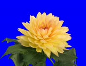 Time-lapse of blooming pink yellow dahlia 1c2b in 2K Animation format with ALPHA transparency channel isolated on blue chroma keyed background