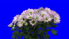 Time-lapse of opening pink chrysanthemum flower buds 1x3b in 2K Animation format with ALPHA transparency channel isolated on blue chroma keyed background
