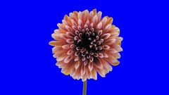 Time-lapse of opening red-white dahlia 1a4b in 4K Animation format with ALPHA transparency channel isolated on blue chroma keyed background