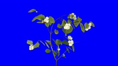Time-lapse of drying Snowberry branch leaves 2a4b in 4K Animation format with ALPHA transparency channel isolated on blue chroma keyed background