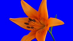 Time-lapse of opening orange lily 2c4b in 3K Animation format with ALPHA transparency channel isolated on blue chroma keyed background