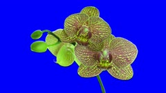 Time-lapse of opening Phalaenopsis KV Charmer orchid with red stripes 1a4b in 4K Animation format with ALPHA transparency channel isolated on blue chroma keyed background