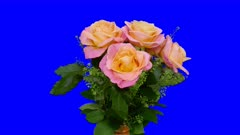 Time-lapse of rotating, growing and blooming rose Miss Piggy bouquet 1x5b in 5K Animation format with ALPHA transparency channel isolated on blue chroma keyed background