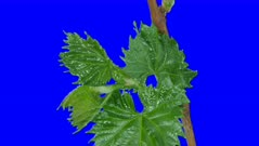 Time-lapse of growing grapevine branch 1a5b in 6K Animation format with ALPHA transparency channel isolated on blue chroma keyed background