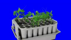 Time-lapse of germinating and growing pea vegetables in a nursery box 1a4b in 4K Animation format with ALPHA transparency channel isolated on blue chroma keyed background