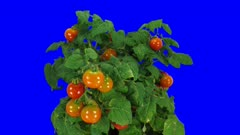 Time-lapse of growing, ripening and falling tomato vegetables 1a5b in 4K Animation format with ALPHA transparency channel isolated on blue chroma keyed background