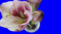 Time-lapse of opening amaryllis Picotee Christmas flower 1b1b in 2K Animation format with ALPHA transparency channel isolated on blue chroma keyed background