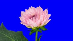 Time-lapse of blooming pink dahlia (georgine) flower 3x6b in 2K Animation format with ALPHA transparency channel isolated on blue chroma keyed background