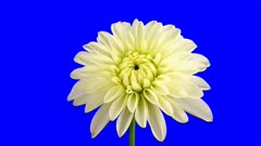 Time-lapse of blooming white dahlia flower 1a6b in 4K Animation format with ALPHA transparency channel isolated on blue chroma keyed background