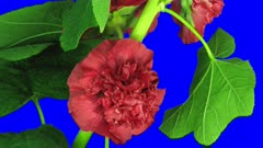 Time-lapse of blooming red filled mallow flower 3a4b in 3K Animation format with ALPHA transparency channel isolated on blue chroma keyed background