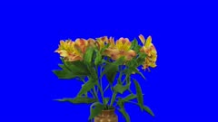 Time-lapse of opening yellow-red Peruvian Lily (Alstroemeria Casablanca) 1d5b in 4K Animation format with ALPHA transparency channel isolated on blue chroma keyed background
