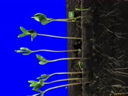 Time-lapse of growing soybeans vegetables 8a2b in 3K Animation format with ALPHA transparency channel isolated on blue chroma keyed background